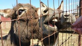 Divertimento no jardim zoológico Petting Foto de Stock Royalty Free