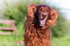 Divertimento rosso del cane dell'incastonatore irlandese Fotografie Stock Libere da Diritti