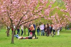 Divertiresi giapponese degli adolescenti del giardino pubblico dei ciliegi Fotografia Stock