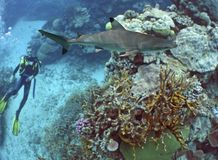 DiverWatch. Diver watching Blacktip Reef Shark (Carcharhinus melanopterus Royalty Free Stock Photos