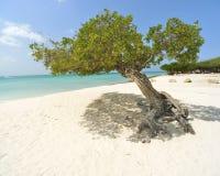 Divi Aruba drzewo Obraz Royalty Free