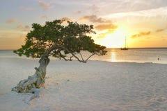 Divi-divi au coucher du soleil images libres de droits