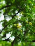 Divi-Divi of Caesalpinia-coriaria Royalty-vrije Stock Fotografie