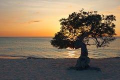 Divi divi drzewo na Aruba wyspie przy zmierzchem Zdjęcie Stock