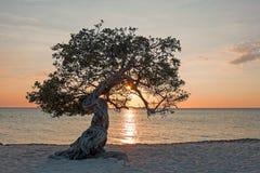 Divi divi drzewo na Aruba wyspie przy zmierzchem Obraz Royalty Free