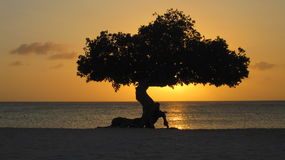 Divi Divi Sunset. Silhouette of a Divi Divi tree on the hozon at sunset royalty free stock image