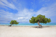 Divi Divi tree Stock Image