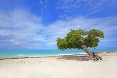 Free Divi Divi Tree Stock Photography - 16690822