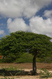 Divi Divi tree. On island of Bonaire royalty free stock image