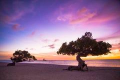 Divi Divi Tree Aruba Stock Photos