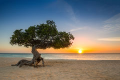 Divi-divi tree in Aruba. Divi-divi tree on Eagle Beach. The famous Divi Divi tree is Aruba`s natural compass, always pointing in a southwesterly direction due to royalty free stock photo