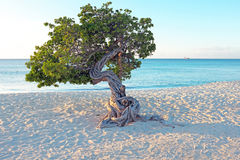 Divi divi tree on Aruba island Royalty Free Stock Photography