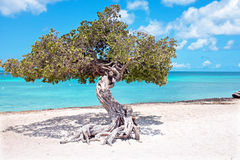 Divi divi tree on Aruba island in the Caribbean Stock Image