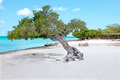 Divi divi tree on Aruba island in the Caribbean Royalty Free Stock Images