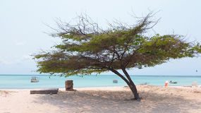 Divi divi tree on Aruba island Royalty Free Stock Images