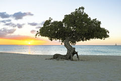 Divi divi tree on Aruba island in the Caribbean Royalty Free Stock Photo