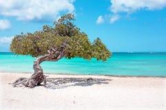 Divi divi tree on Aruba island i Royalty Free Stock Images