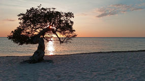 Divi divi tree on Aruba island at sunset Royalty Free Stock Images