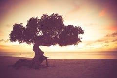 Divi Divi Tree Aruba Royalty Free Stock Photos