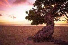 Divi Divi Tree Aruba Stock Photo