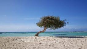 Divi divi tree Royalty Free Stock Image