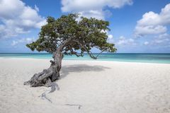 Divi Divi Tree on Eagle Beach Aruba, Caribbean #2. The Famous Divi Divi Tree on Eagle Beach Aruba Island #2 Royalty Free Stock Image