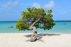 Divi Divi Tree em Aruba imagem de stock