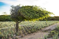 Divi divi tree - Libidibia coriaria - aloe plantation, Aruba Stock Photo