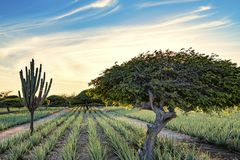 Divi divi tree - Libidibia coriaria - and aloe plantation Aruba stock photography