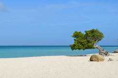 Divi-Divi Tree Standing on Eagle Beach Stock Image