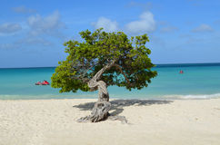 Divi Divi Tree Standing on Eagle Beach Stock Photography