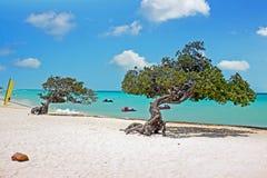 Divi divi trees on Aruba island in the Caribbean. Sea Stock Photo