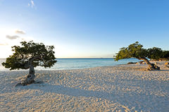 Divi divi trees on Aruba island in the Caribbean Stock Photos