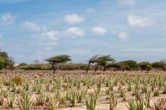 Divi-Divi Trees Beyond Aloe Farm Stock Photos