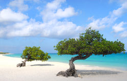 Divi Divi trees on Eagle Beach in Aruba Stock Image
