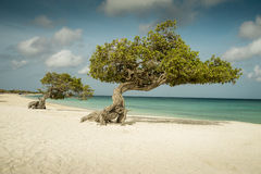 Divi divi trees on Eagle beach - Aruba Stock Photography