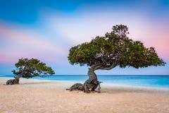 Divi-Divi trees on Eagle Beach, Aruba. Divi-Divi trees on Eagle Beach. Typical strong trade winds constantly battering the island shake the canopy royalty free stock photography