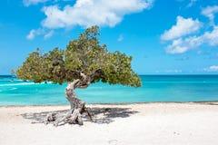 Divi diviträd på den Aruba ön Arkivfoton