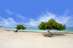 Divi tree Stock Image