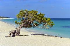 Divi Divi Tree em Aruba imagens de stock