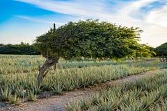 Divi divi tree - Libidibia coriaria - Aruba stock photography