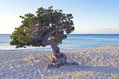 Dividivi tree on Aruba Royalty Free Stock Photography