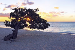 Dividivi tree on Aruba Stock Image