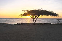 Dividivi tree on Aruba. Dividivi tree on the beach from Aruba at sunset Stock Images