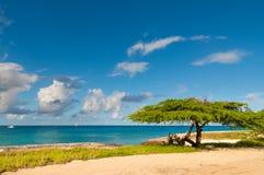 Dividivi tree on Aruba Stock Photography
