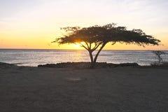 Dividiviträd på Aruba Arkivbilder
