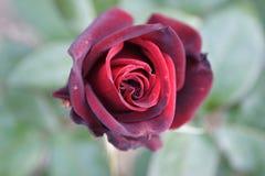 Divine fine claret rose stock photos