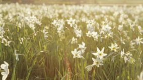 Divine nature, saving protected fragile daffodils. Blossoming of white narcissus flower on a bright sunshine. Spring stock footage