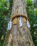 Divine Tree at Ujikami-jinja Shrine in Kyoto Stock Photography