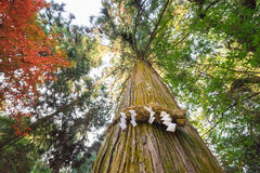 Divine Tree A yorishiro in Shinto terminology is an object capa Royalty Free Stock Images